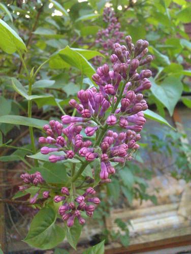 Lilac blossom {028/365}