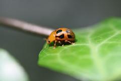 生田緑地のハムシ?(Beetle, Ikuta Ryokuchi Park, Kawasaki, Kanagawa, Japan, 2011)