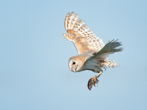 Barn Owl success