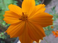 Kembang Kuning