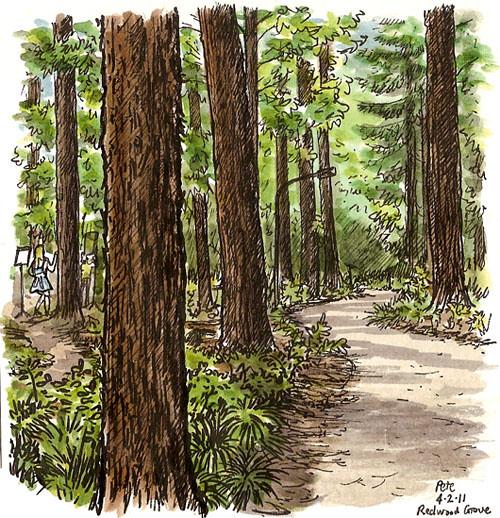 arboretum redwoods