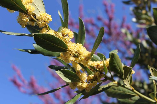 20110407_1272_bay-tree-flowers