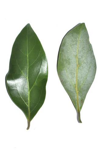 Endiandra discolor