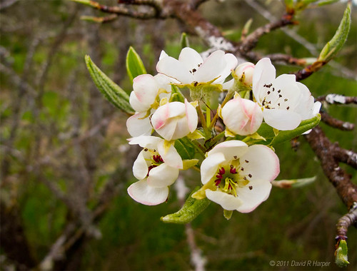 Day 119 of 365 … Apple Blossoms by Echo9er