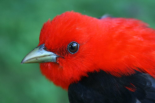 After-second-year male Scarlet Tanager