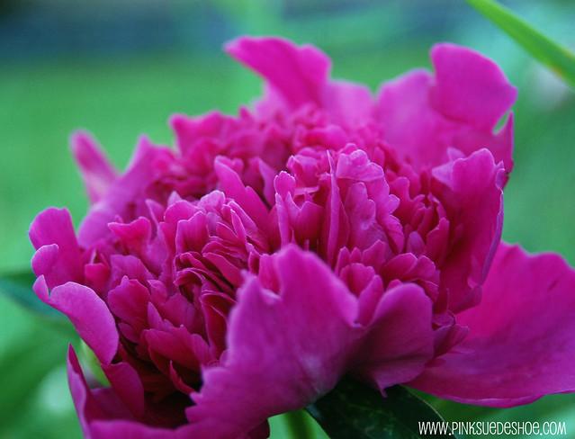 pink ruffled peony