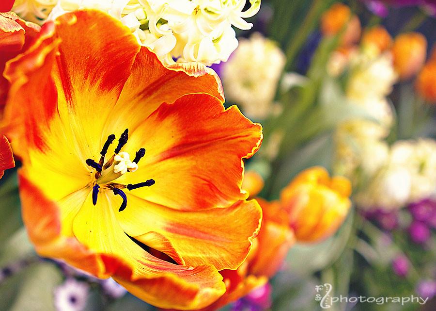 Anatomy of a tulip (2)
