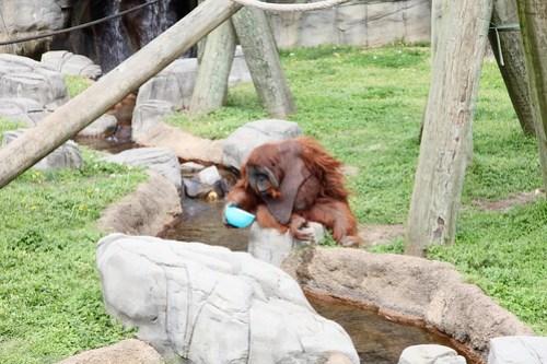 Graceful Ape