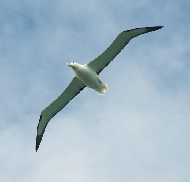 albatross #2