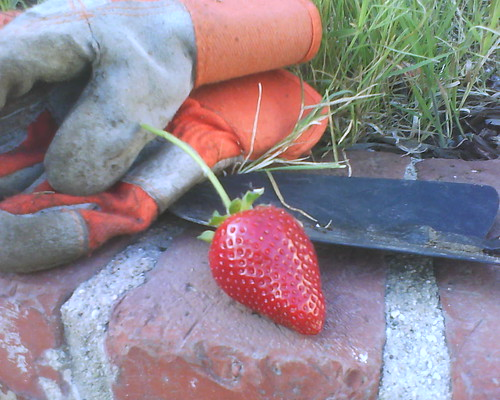 First strawberry (from last year's plant) by Veronica in LA