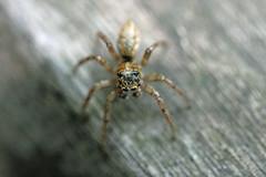 生田緑地のクモ(Spider, Ikuta Ryokuchi Park, Kawasaki, Kanagawa, Japan, 2011)