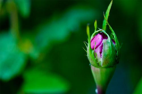 Day 172 :: 365 … Rosebud by Echo9er
