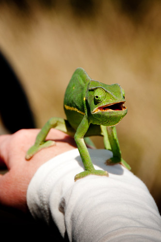 Chameleon's Day Out by TheWanderingAmerican, on Flickr