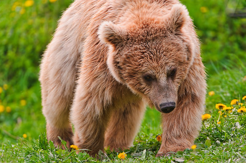 Walking bear by Tambako the Jaguar