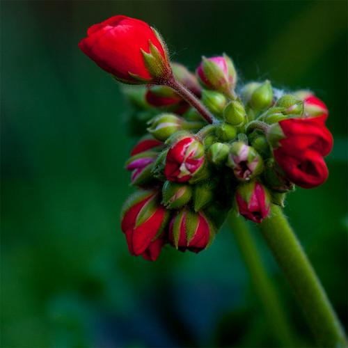 Day 175 :: 365 … Budding Geraniums by Echo9er
