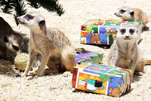 four meerkats on sandy ground, with brightly-wrapped gift boxes