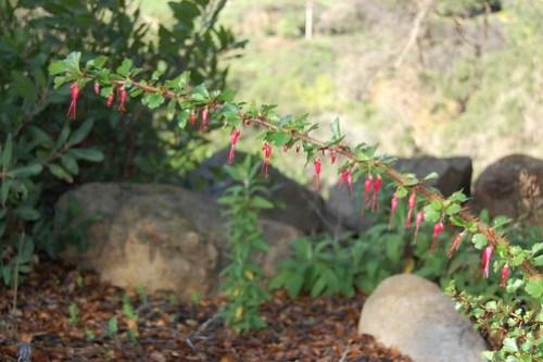 Fuchsia-flowered Gooseberry - Ribes speciosum