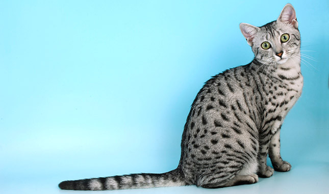 Egyptian Mau by lemonfilmblog, on Flickr