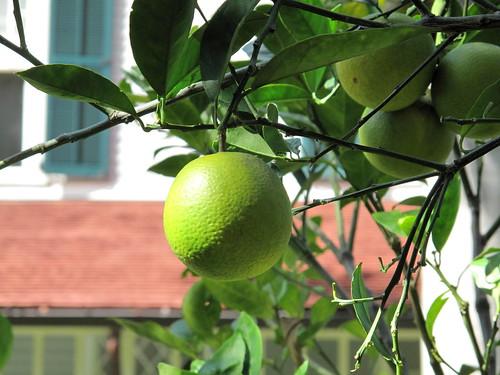 Meyer lemon, Edison summer house