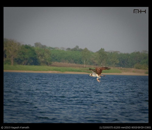 Osprey in flight with fish | Kabini