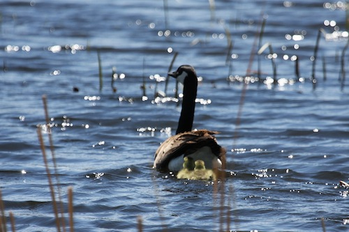 Canadian Goose & Goslings