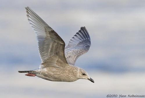 Thayer's Gull / Norðmáfur