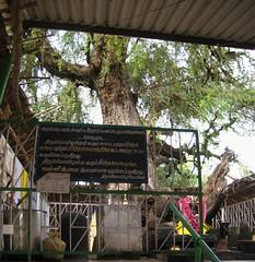 Brahma as Vanni Tree