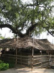 Brahma - Vanni Tree 4