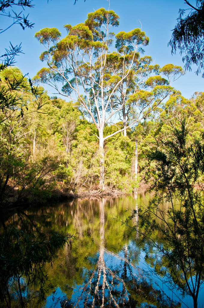 A karri tree reflected in an irrigation dam
