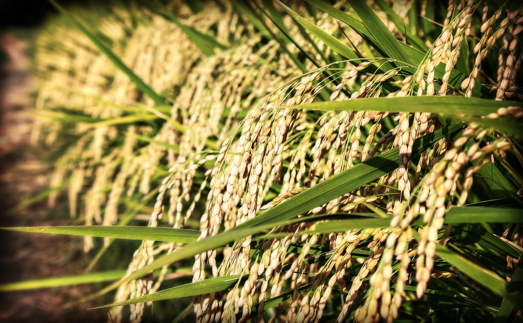 Look at All That Rice [22/365]