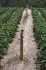 Watering System for Strawberry Plantation