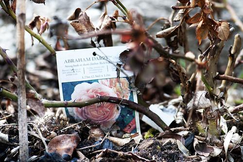 rosa abraham darby disgelo _3005401 come oggetto avanzato-1