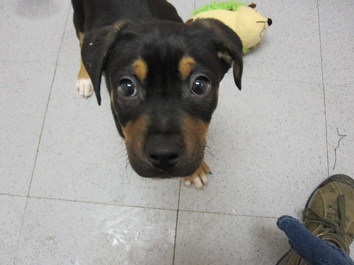 Lab/Boxer mix puppy