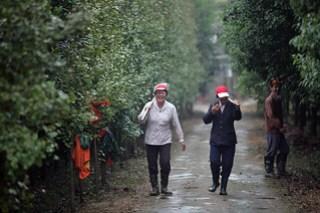 Gingko farm workers