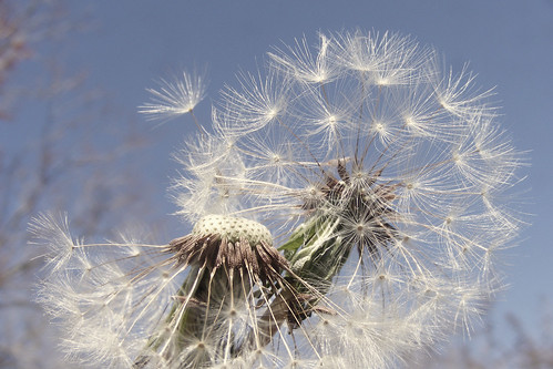 lovely image of dandelions and blue sky