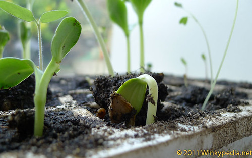 Plants growing towards the light in a propagator