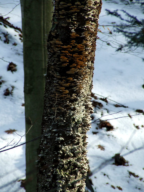 black birch with polyphores