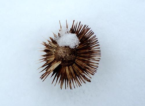 Echinacea in winter