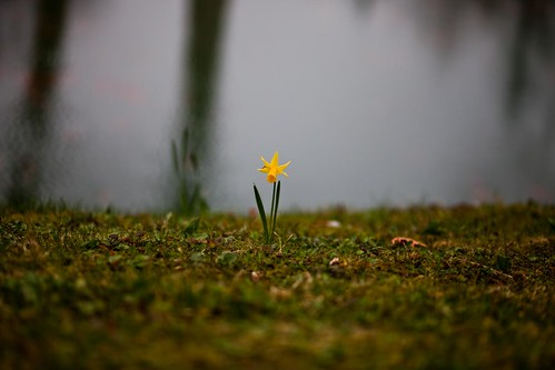 Lonely crocus by esquimo_2ooo