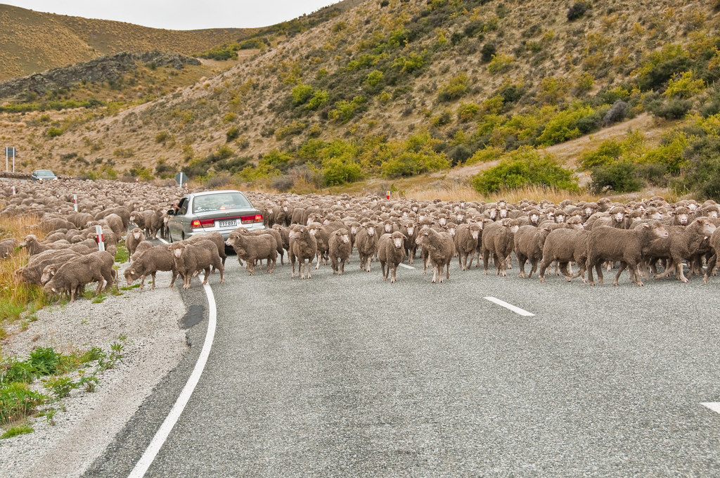 Moving sheep on Lindis Pass