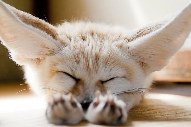 sleeping fennec fox