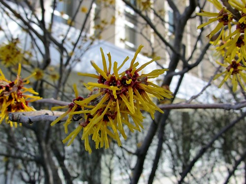 Ornamental witch hazel