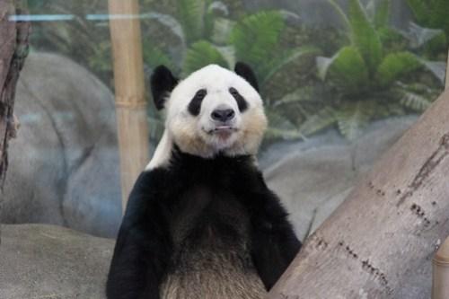 Stoned Panda