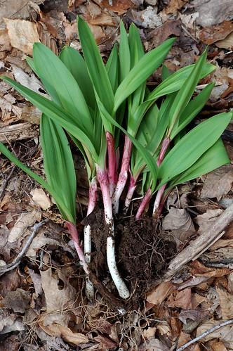Wild Ramps: A (Fragile) Seasonal Delicacy   Care2 Healthy ...