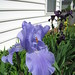 Iris (periwinkle)