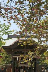 江の島めぐり―奥津宮と桜(Cherry blossoms at Okutsumiya shrine, Enoshima, 2011)