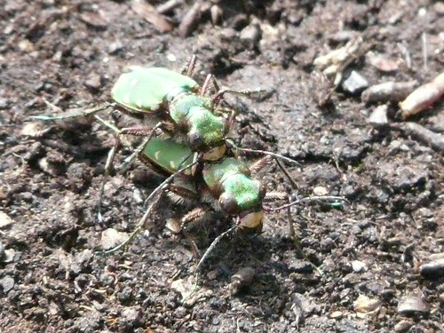 Hello, Tiger (Beetle)