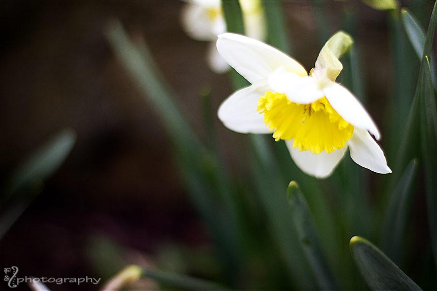 Daffodil debut