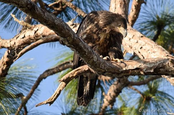 Juvenile Bald Eagle
