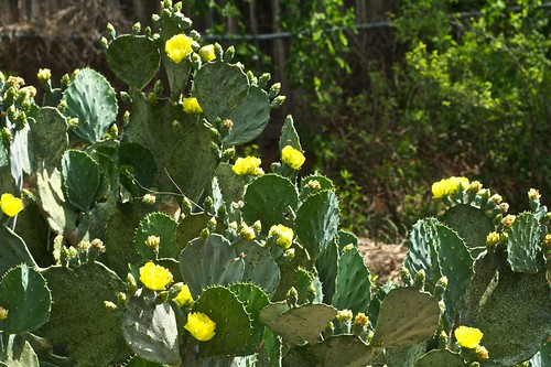 Prickly Pear in Bloom
